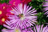 Bienen sammeln Honig — Stockfoto
