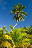 Coconut Trees in Aitutaki Lagoon Cook Islands — Stock Photo