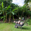 Coconuts in wheelbarrow — ストック写真