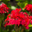 Geranium flowers — Stock Photo