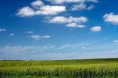 Green field of wheat — Stock Photo