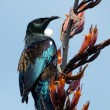 Tui -  Bird of New Zealand — Foto de Stock