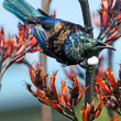 Tui -  Bird of New Zealand — Stock Photo
