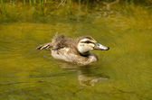Mallard duck duckling — Stock Photo