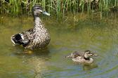 Female Mallard duck and here duckling — Stock Photo