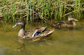 Male and female Mallard ducks — Stock Photo