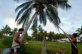 Coconut Tree Agriculture in Aitutaki Lagoon Cook Islands — Stock Photo