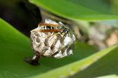European paper wasp queen — Stockfoto