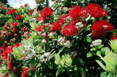 Pohutukawa red flowers blossom — Stock Photo