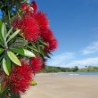 Stock Photo: Pohutukawred flowers blossom