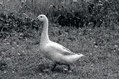 Goose — Foto Stock
