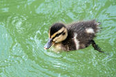 Mallard Ducklings swimming — Stock Photo