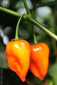 Hot chilis - Habanero — Stock Photo