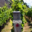 Stock Photo: Pinot Noir sign on grape vine