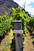Pinot Noir sign on grape vine — Stock Photo