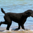 Poodle dog — Stock Photo #41048085