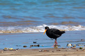 Oystercatcher — Stock Photo