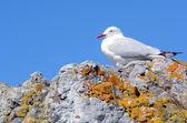 Red-billed gull — Stock Photo