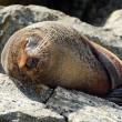Fur seal - New Zealand wildlife — Stock Photo