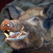 Stock Photo: Taxidermy - Wild boar