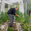Man grow tomatoes in greenhouse — Stockfoto #41239593