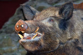 Taxidermy - Wild boar — Stock Photo