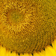 Sunflower pollen pattern — Stock Photo #41971625