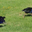 Pukeko - New Zealand Native Birds — Stock Photo