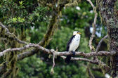 Little Pied Cormorant — 图库照片