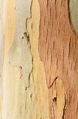 Eucalyptus tree  — Stock Photo
