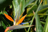Bird of paradise flower - Strelitzia reginae — Stock Photo