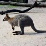 Постер, плакат: Antilopine kangaroo