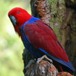 Female Eclectus Parrot — Stock Photo #45488803