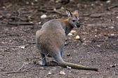 Antilopine kangaroo — Stock Photo