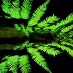 Silver tree fern — Stock Photo #45570191