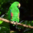 Female Eclectus Parrot — Stock Photo #45573621