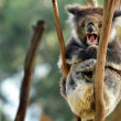 Koala yawning on an eucalyptus tree — Stock Photo #45574305