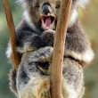 Koala yawning on an eucalyptus tree — Stock Photo #45574373