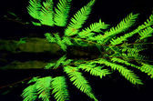 Silver tree fern — Stock Photo