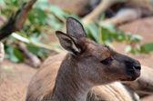 Red kangaroo — Stock Photo