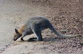 Antilopine kangaroo — Stockfoto