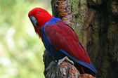 Female Eclectus Parrot — Stock Photo