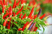 Bird's eye chili — Stock Photo