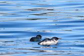 маленькая голубая фея пингвины — Стоковое фото