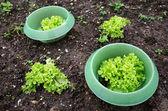 Lettuce — Foto de Stock