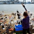 Feeding the pelicans — Stock Photo