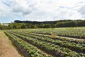 Strawberry farm — Stockfoto