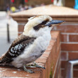 Kookaburra - Stock Photo