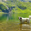 White dog refreshing in very clean water — Stock Photo #13558267