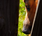 German Shepherd dog looking sadly through wood fence — Stock Photo